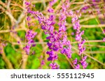 bright berries in the botanical ... | Shutterstock . vector #555112945