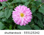 Pink And White Dahlia  Dalia  ...
