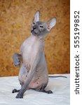 peterbald hairless cat sitting... | Shutterstock . vector #555199852
