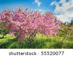 Cercis  Blossoming On A Wood...