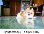 dog pomeranian laying on the... | Shutterstock . vector #555214582