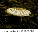 Small photo of Amanita rubescens var alba, Basidiomycetes, Agaricales, Amanitaceae, Amanita, India