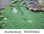 Water Droplets On An Old Lotus...