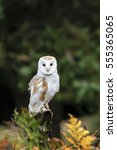 Stock photo barn owl outside on perch 555365065