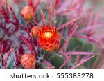 red cactus flowers in desert. | Shutterstock . vector #555383278