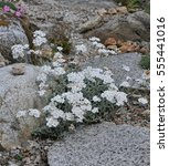 Small photo of White flowers on an alpine plant called Achillea clavennae