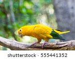 The Golden Parakeet Or Golden...