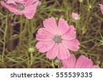 vintage color cosmos flower | Shutterstock . vector #555539335