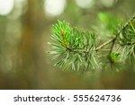 green pine branch with needles... | Shutterstock . vector #555624736