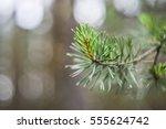 green pine branch with needles... | Shutterstock . vector #555624742