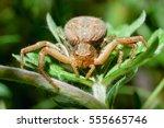 brown garden spider sitting on... | Shutterstock . vector #555665746