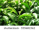 Close Up Green Tea Leaves  In...