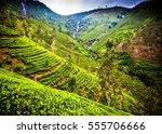 Tea Plantation Landscape In Th...
