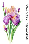 Purple Iris. Illustration...