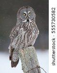 Great Grey Owl  Strix Nebulosa...