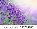 Lavender Field In Sunlight.