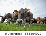 cow  farm  new zealand | Shutterstock . vector #555804022