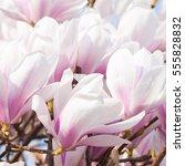 white pink magnolia blossoms in ... | Shutterstock . vector #555828832
