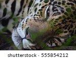 A Sleeping Jaguar In The Amazo...