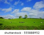 friesian cows resting in a...