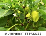 the fruits of pepper growing on ... | Shutterstock . vector #555923188