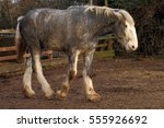 Grey Shire Horse Walking On A...