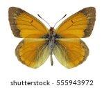 butterfly colias staudingeri on ... | Shutterstock . vector #555943972
