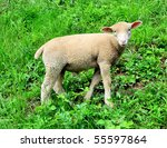 young lamb on a green meadow - stock photo