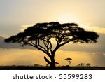 Large Acacia Tree Backlit At...