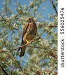 common kestrel  falco...   Shutterstock . vector #556025476