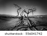 lonely dead tree in the death... | Shutterstock . vector #556041742