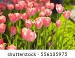 beautiful tulips in spring... | Shutterstock . vector #556135975