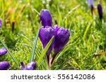 White And Violet Crocus Savitu...