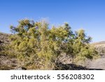 Small photo of African tamarisk wild plant in the dessert of Fuerteventura Canary Islands.