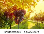 grape harvest | Shutterstock . vector #556228075