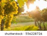 grape harvest | Shutterstock . vector #556228726
