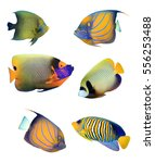 Small photo of Angelfish of Indian and Pacific Oceans. Tropical fish collection. Koran, Ringed, Blue-cheeked, Emperor and Regal Angelfish. Reef fish isolated on white background.