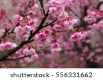 beautiful cherry blossom | Shutterstock . vector #556331662