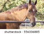 A Brown Horse Looking At You
