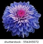 Blue Flower Chrysanthemum ...