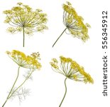 Flowering Dill. Isolated On...
