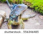 Big Dragon Iguana Close Up In...