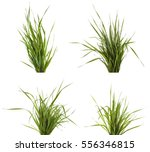 bundle of green grass isolated... | Shutterstock . vector #556346815