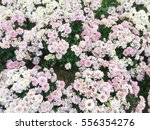 beautiful colorful... | Shutterstock . vector #556354276