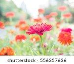 pink flower among red flowers... | Shutterstock . vector #556357636