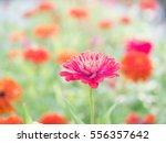 pink flower among red flowers... | Shutterstock . vector #556357642