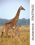mother and baby giraffe in kenya | Shutterstock . vector #556370632