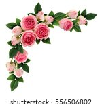 pink rose flowers and buds... | Shutterstock . vector #556506802