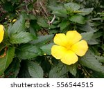 yellow flower and many leaves | Shutterstock . vector #556544515