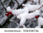 Snowy Rose Hip
